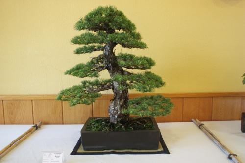 Bonsai Pino ( Pinus Parviflora ) - CBALICANTE