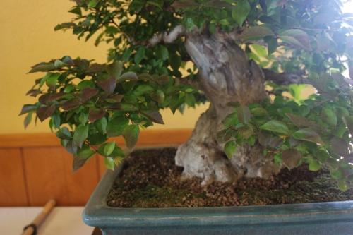 Bonsai Arbol de Jupiter ( Lagestroemia Indica ) - CBALICANTE