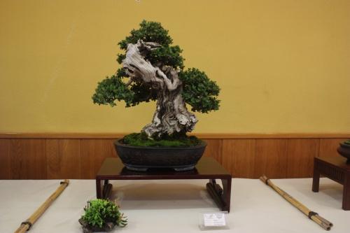 Bonsai Ullastre ( Olea Europaea Sylvestris ) - CBALICANTE