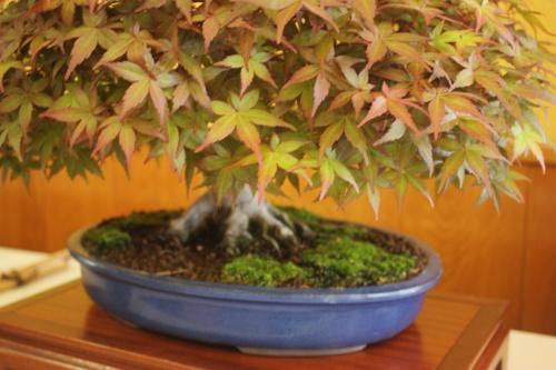 Bonsai Acer Palmatum - CBALICANTE