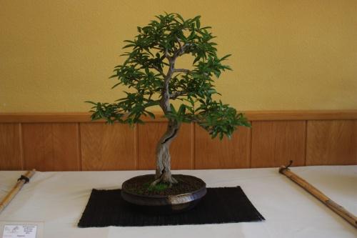 Bonsai Granado de Jose Antonio Terol - CBALICANTE