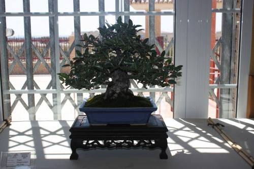 Bonsai Elaeagnus Pungens de Juan Ortega - Foto de mala calidad - CBALICANTE