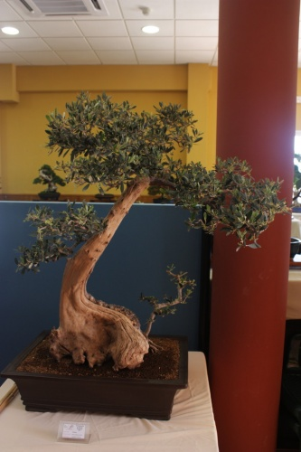 Bonsai Ullastre de Antonio Llorens - Club Bonsai Alicante - CBALICANTE