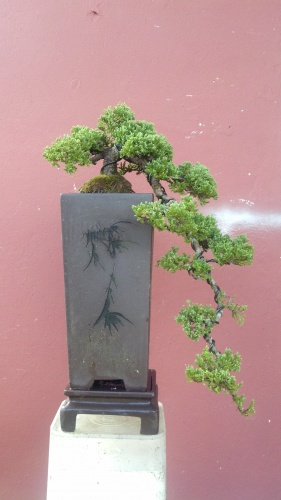 Bonsai Juniper Procum be  - junny