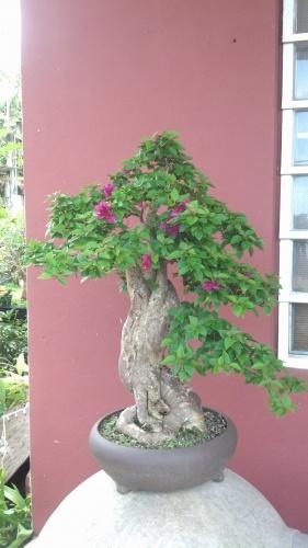Bonsai trinitaria pixie - junny