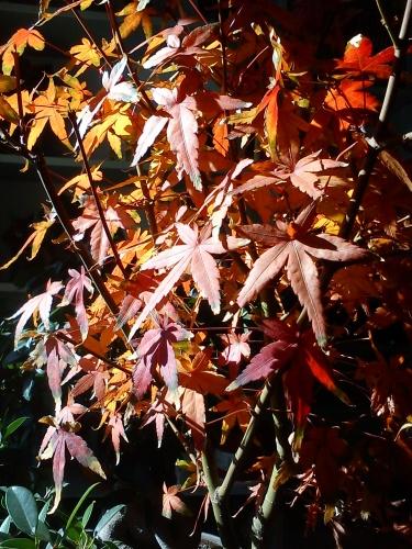 Bonsai Acer palmatum 2011 - tito satorre rodriguez