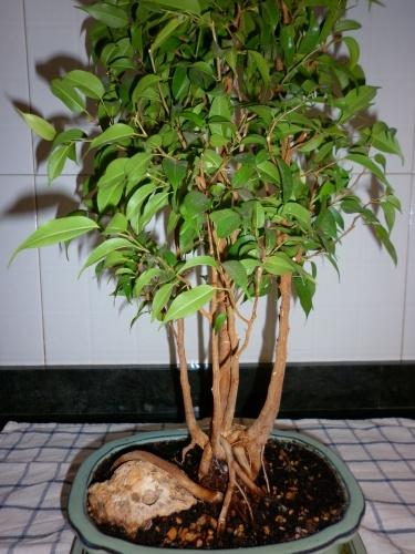 Bonsai Ficus benjamina - tito satorre rodriguez