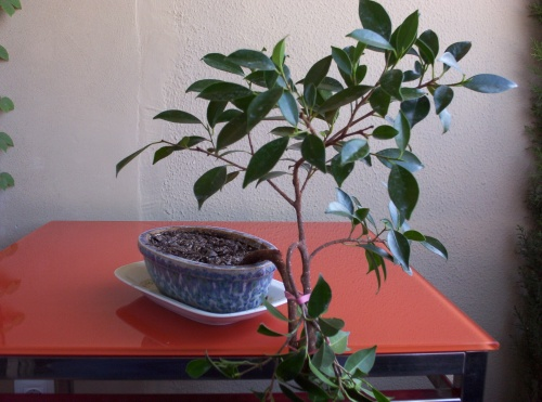 Bonsai Ficus Retusa I - tito satorre rodriguez