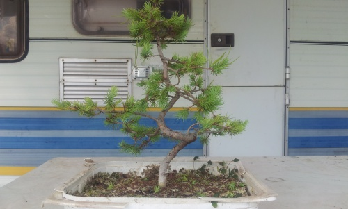 Bonsai pino - javel