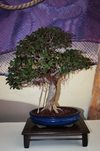 Bonsai 12447 - torrevejense