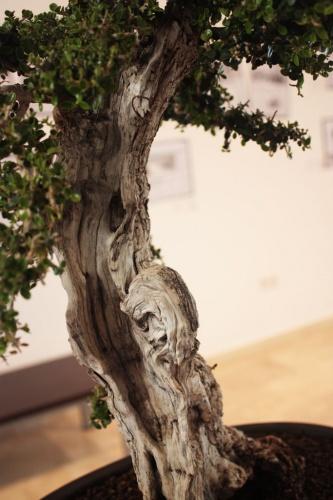 Bonsai Acebuche Bonsai - Detalle del Tronco - torrevejense
