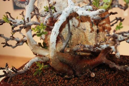 Bonsai Detalles de la higuera unida a la roca - torrevejense