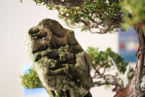 Bonsai Roca - torrevejense