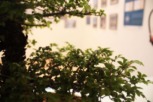 Bonsai Ramas de Zelkava Bonsai  - torrevejense