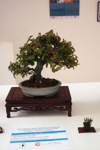 Bonsai Membrillero Chino Bonsai  - torrevejense