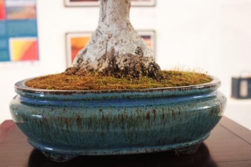 Bonsai Nebari Olivo en maceta redonda azulada - torrevejense