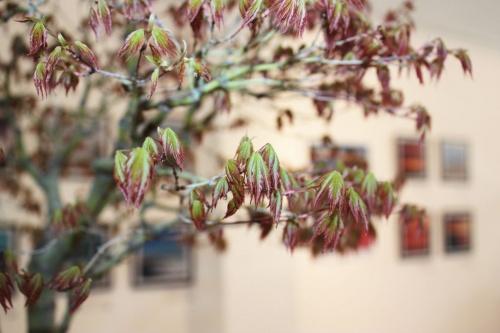 Bonsai Arce Japones Bonsai - Detalle de hojas - torrevejense