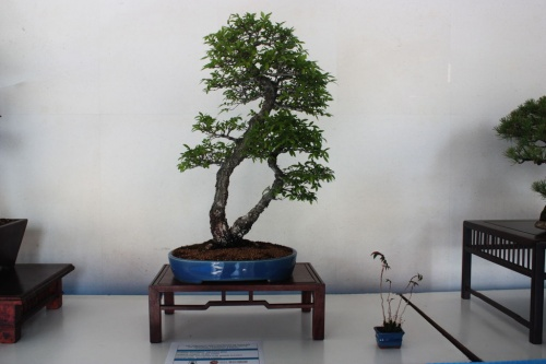 Bonsai Olmo Chino Bonsai - torrevejense