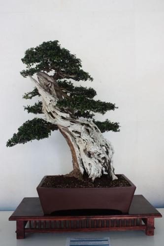 Bonsai Acebuche Bonsai  - torrevejense