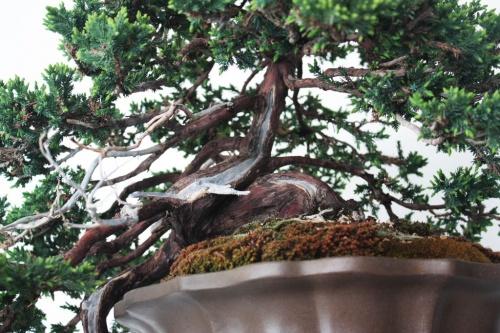Bonsai Junipero Bonsai - Detalles en el Tronco - torrevejense