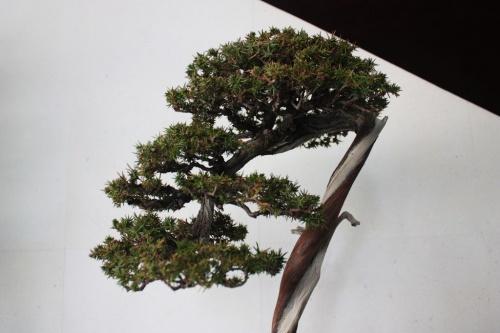 Bonsai Enebro de las Pagodas Bonsai - Detalle de la Copa - torrevejense