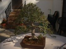 Bonsai 12627 - vicente solbes