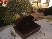 Bonsai 12695 - vicente solbes