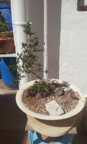 Bonsai 12699 - SARRUT