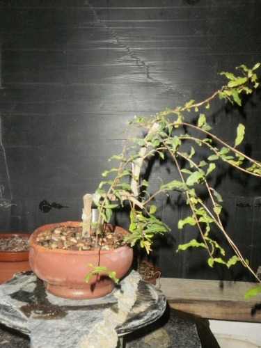 Bonsai Granado Esqueje 12-5-2012 - SARRUT