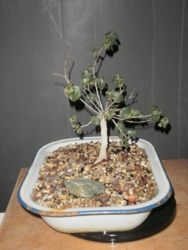 Bonsai 12823 - SARRUT