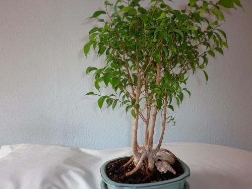 Bonsai Ficus Benjamina = 2014 - tito satorre rodriguez