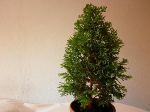Bonsai Cipres de Lawson 2014 - tito satorre rodriguez