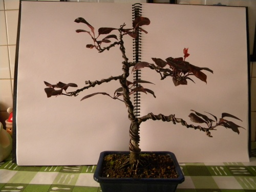 Bonsai Prunus Pisardi - Mera