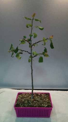 Bonsai Alambrado manzano - jaudetb
