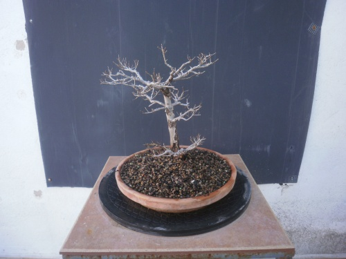 Bonsai 13263 - SARRUT