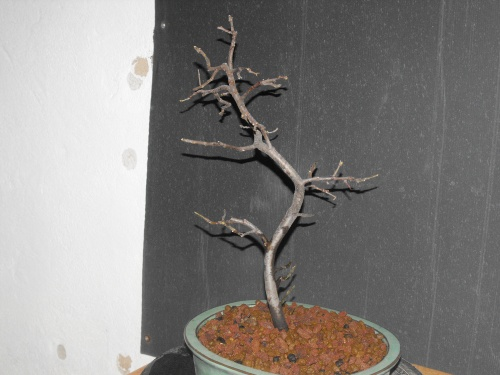 Bonsai Menbrillo trasplante - SARRUT