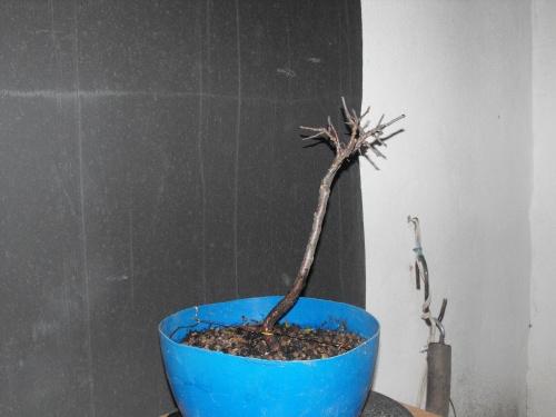 Bonsai Planton de manzano silvestre extraido en marzo del 2016 - SARRUT