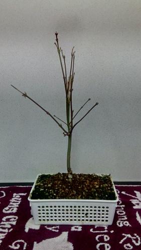 Bonsai Actualización Arce Palmatum - jaudetb