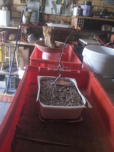 Bonsai Almez semilla - SARRUT