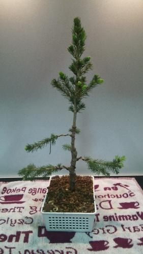 Bonsai Poda y alambrado de Picea Glauca - jaudetb