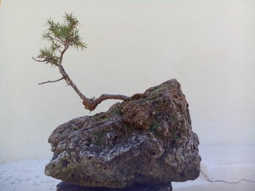 Bonsai Enebro. (juniperus oxycedrus) - Fernando ballester martinez