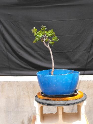 Bonsai manzano - SARRUT