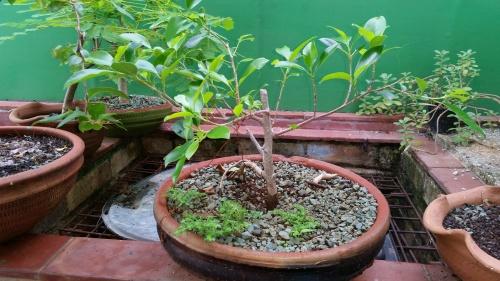 Bonsai Ficus - Humberto Guanche
