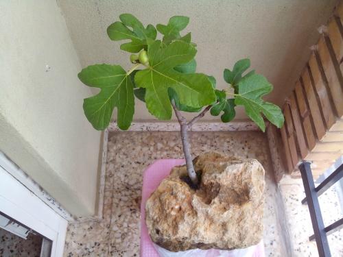 Bonsai Higuera ( Ficus carica ). - Fernando ballester martinez