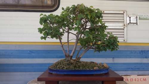 Bonsai olmo multiple tronco - javel