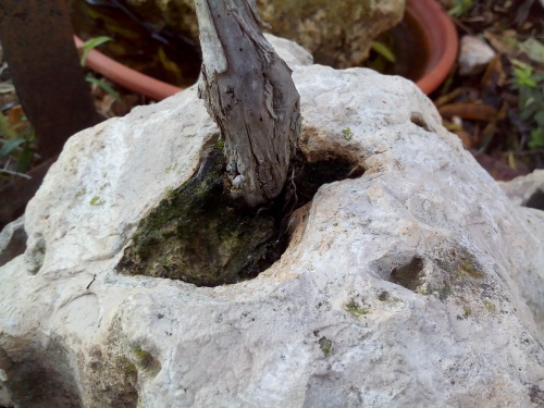 Bonsai tronco de sabina ( juniperus phoenicea ) - Fernando ballester martinez