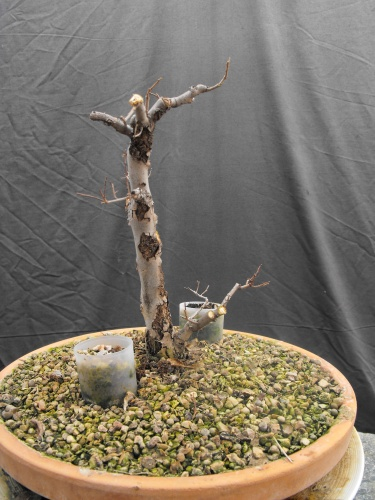Bonsai 13599 - SARRUT