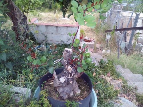 Bonsai algarrobo ( ceratonia silicua) - Fernando ballester martinez