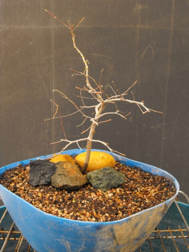 Bonsai 13743 - SARRUT