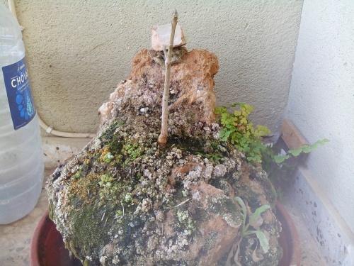 Bonsai Fresno ( fraxinus ornus) enraizado dentro de roca sedimentaria - Fernando ballester martinez